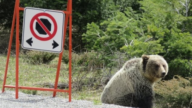 Last year in Kootenay National Park, several people were charged and warned for disobeying no-stopping signs designed to protect animals.
