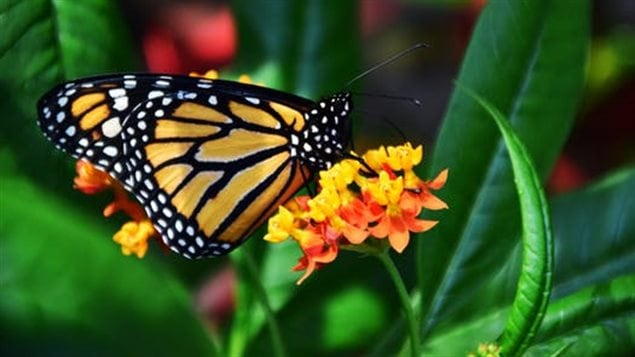 It takes four generations of monarch butterfly to make the round trip migration between Mexico and Canada.
