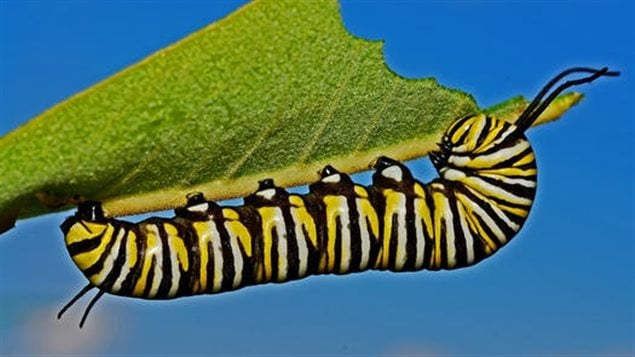 Monarch caterpillars only eat milkweed and would not survive without it.