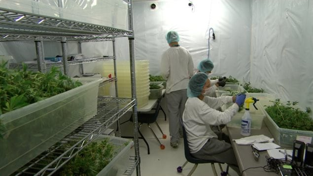 Employees work in a drying room at Delta 9, a medical marijuana growing facility in Winnipeg. in this 2015 photo