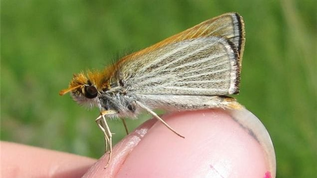 The poweshiek skipperling is tiny and lives as an adult only a few weeks in summer.