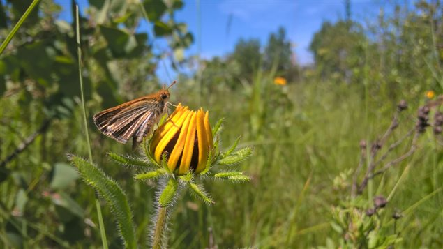 The poweshiek skipperling feeds on one particular flower that grows in tall grass prairie.