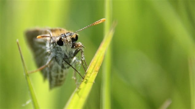 Close study of the poweshiek skipperling may not save it but could help save other endangered butterflies.