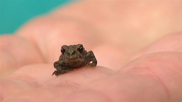 Un sapo boreal en la mano de una persona nos permite ver el pequeñito tamaño de la especie