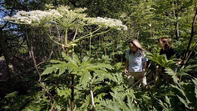 The sap of the giant hogweed plant can cause third-degree burns and blindness.