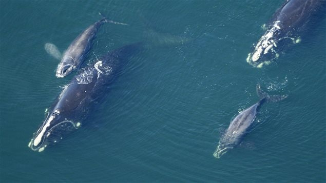 In this Feb. 2009 photo provided by the New England Aquarium, North Atlantic right whales swim with their calves in the Atlantic Ocean off the coast of the United States near the border between Florida and Georgia.