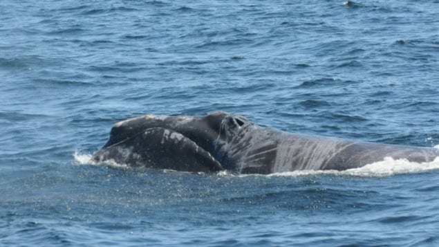 A right whale has injuries scientists believe were caused by entanglement in fishing gear.