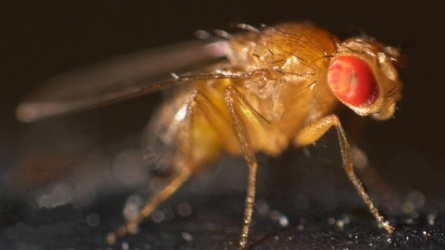 A study of fruit flies and dopamine is related to human response to social distance between individuals, and may lead to  helping to understand spectrum autism or schizophrenia.