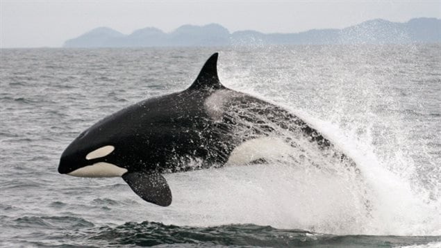 In this July 2005 photo provided by Canada's Department of Oceans and Fisheries, a transient killer whale breaches off the coast of British Columbia. David Miller says ecosystem protection is the key, not individual species, saying for example not much can be done to halt the decline in Pacific killer whales until one understands the decline in salmon, their main food.