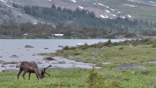 The caribou, an iconic species in Canada, is in serious decline in all of its ranges in spite of government protections.