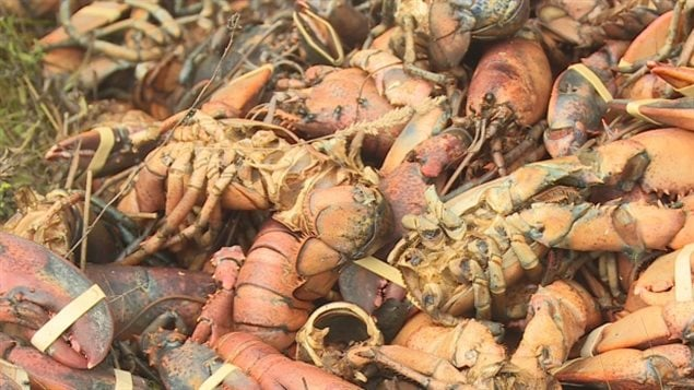 Piles of lobster have been discovered dumped in the woods areound Weymouth N.S., in the southwestern area of the province. on the Fundy coast. Many seem to have been dumped recently.