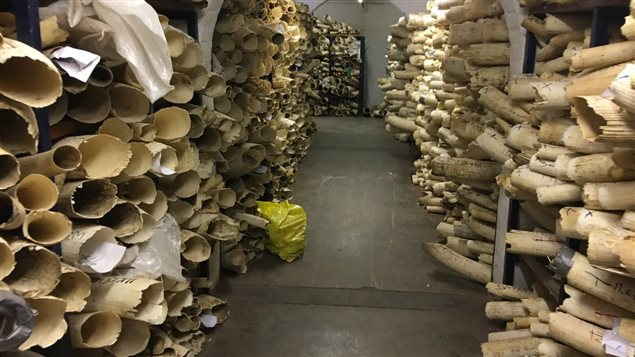The slaughter of African wildlife is staggering. This 2017 photo shows 100 tonnes of poached ivory in Zimbabwe. Imagine that every two tusks represents a brutally killed elephant