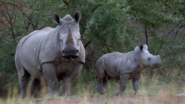 South Africa is home to nearly 20,000 rhino, most  of the world's rhino population. In the country, more than three rhinos are poached every day.  In 2014, more than 1,171 rhinos had been killed, over 7,000 in the past decade.