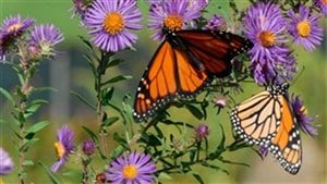 Monarch butterfly numbers are increasing, but almost all of them have left Canada for the flight to Mexico by now.