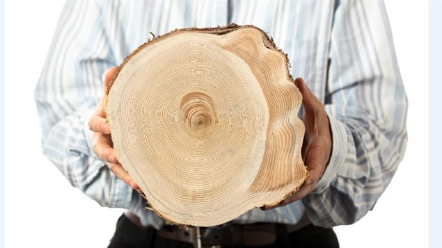 Eastern white cedar section from the Parc national de la Gaspesie, studying tree rings can reveal temperature records