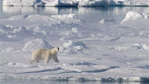 A polar bear stands on a ice floe in Baffin Bay above the Arctic circle as seen from the Canadian Coast Guard icebreaker Louis S. St-Laurent on July 10, 2008. The North Water Polynya or Pikialasorsuaq in Inuktitut is a biologically and culturally unique region and is a breeding ground and migration area for animals such as narwhal, beluga, walrus, bowhead whales and migratory birds. (Jonathan Hayward/The Canadian Press)