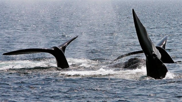 A ballet of three North Atlantic right whale tails break the surface off Provincetown, Mass., in Cape Cod Bay on April 10, 2008.