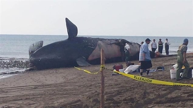 The body of the eighth right whale brought onshore at Miscou Island, New Brunswick for a necropsy in July. The official report of six necropsies reveal ship strikes and fishing gear entanglements were to blame.