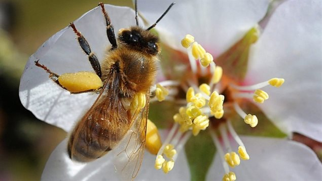 Neonicotinoids are not just on the plant but within it, including the pollen. New research shows that there are traces of the neuro-toxin in honey.