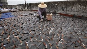 2013: A worker collects pieces of shark fins dried on the rooftop of a factory building in Hong Kong