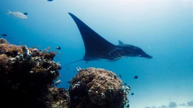 In this Oct. 18, 2011 photo, manta ray swims in the water, off Raja Ampat islands, Indonesia. Manta and mobula ray gill rakers, thin filaments that the animals use to filter food from the water, are used in traditional Chinese medicine. (Herman Harsoyo/Associated Pres