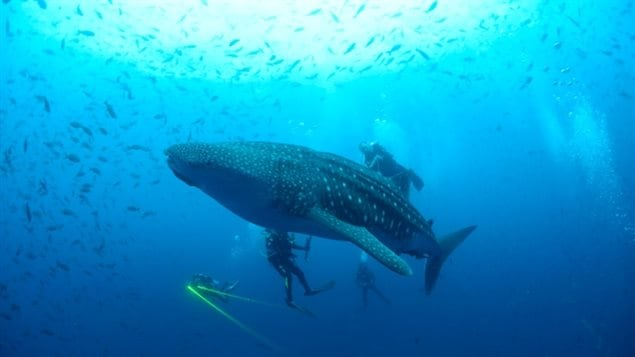 A whale shark is seen in the Galapagos Islands in September 2012. The whale shark, listed as vulnerable since 2003, is among the several at-risk shark species found among 71 dried shark fins obtained at stores and markets in Vancouver and tested in a new study.