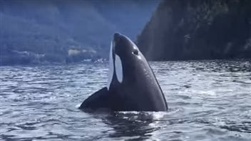 Excessive noise, contaminants and a lack of proper food are threatening the existence of killer whales off North America's West Coast.