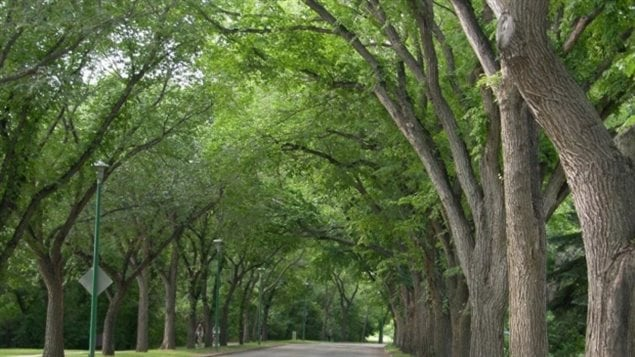American elm trees are one of the most common trees found along Saskatoon streets, such as this canopy of trees along Spadina Crescent. A new University of New Brunswick study suggests that daily exposure to trees and other greenery can extend your life.