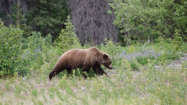 Trophy hunting of grizzlies to end in British Columbia. after years of debate in the west coast province