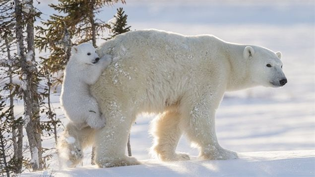 A cub escapes deep snow by hitching a ride on its mother's backside in Wapusk National Park, Manitoba, Canada. Taken by Daisy Gilardini, from Switzerland it was shortlisted in 2016 for the people's choice awards in last year's competition
