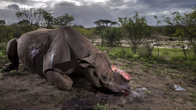 South African Brent Stirton was the grand prize winner for thi tragic photo of a rhino killed for its horns.