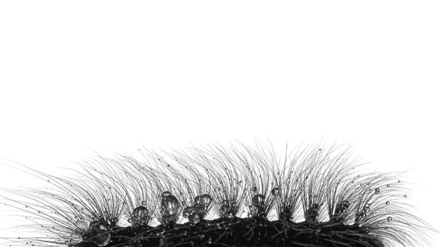 Twelve year old Canadian Joshua Launstein, was a finalist for this close up of the hairs of a monkey moth caterpillar