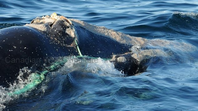 Right whale death investigated by IFAW