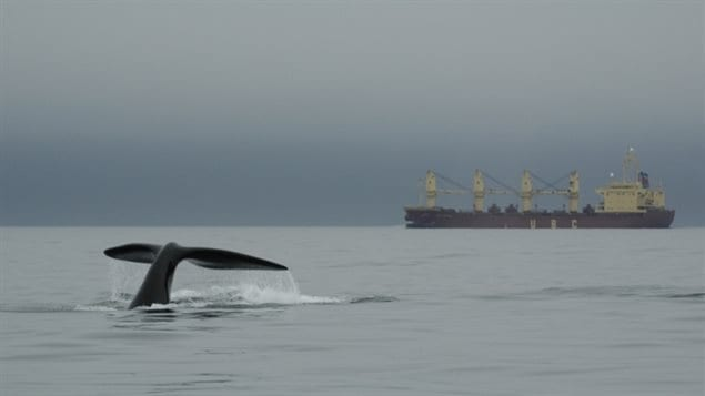 Right whales are very slow swimmers and have often been hit and killed by the much faster moving cargo and cruise shipe