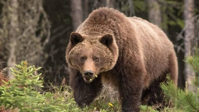 There are an estimated 15,000 grizzly bears in the western province of British Columbia.