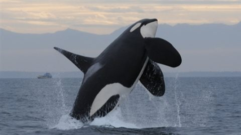 L95, a 20-year-old male, frolics in Nootka Sound off Vancouver Island earlier this year.