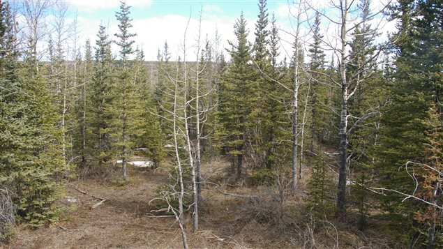 This is the kind of mixed wood site that was studied in Alberta in May 2009.