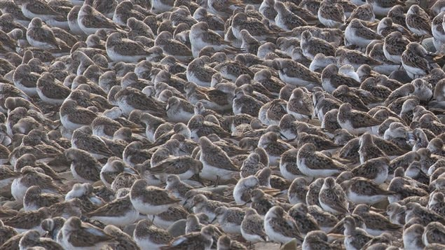 Flocks of over 100,000 semipalmated sandpipers may stop beside mudflats of Canada's Bay of Fundy on their way to South America.