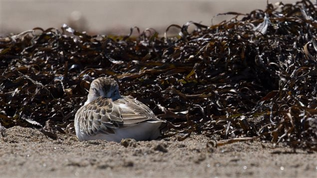 A semipalmated sandpiper rests on its migration from the Arctic to South America.