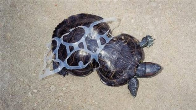 *Peanut* This turtle got caught in a beer six-pack holder and as it grew, the wrapping deformed its shell. Cut free, Peanut luckily survived, and with its deformed shell became a mascot in a campaign against littering.