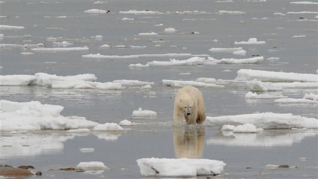 Polar bear walking onshore along the coast of Hudson Bay near Churchill, Manitoba, autumn 2012. No sea ice in sight.