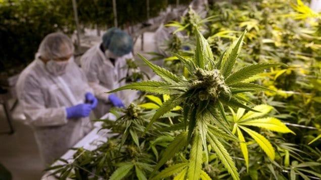 大麻合法化会给加拿大人带来不少致富机会