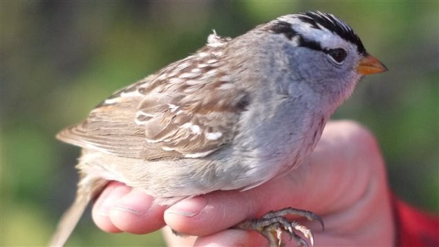 The white crowned sparrow is among the songbirds found to be acutely sensitive to insecticides.