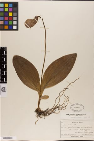 The researchers aslo gathered data from various museums and herbariums such as this *lady's slipper collected in Maine in 1889