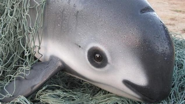 With it's distinctive dark eye patch and dark lips, the vaquita has been sometimes called the panda of the sea.  The smallest cetecean is now the most endangered marine mammal on earth.