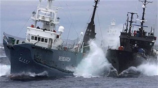 "The Sea Shepherd Conservation Society Farley Mowat tangles with a Japanese whaler in the Antarctic. Founded by Canadian Paul Watson, possibly many hundreds of whales and other sea creatures have been saved by Sea Shepherd's ""unconventional"" methods"