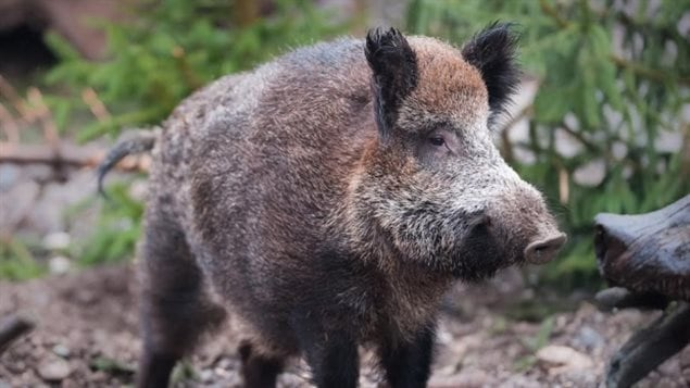 Wild boars are wreaking havoc on ranching and farming operations from British Columbia to Quebec but especially Saskatchewan.