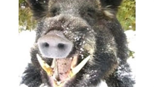 Wild boars are causing destruction to crops, eat the eggs of wildfowl, spread disease, scare cattle, and with big tusks can be dangerous to humans if cornered.