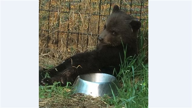 The bear cub was found by the side of a road in British Columbia and was brought home by a concerned resident.
