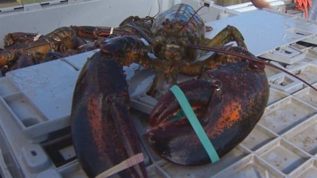 Lobster is Canada's most valuable seafood exported all over the world.
